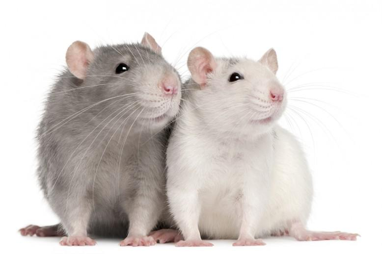 Two mice next to each other